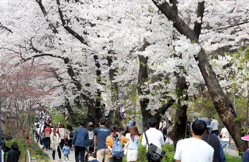 gyeonggi-provincial-government-complex-cherry-blossom-festival