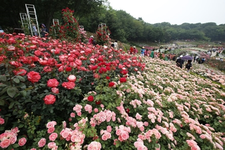 Bucheon One Million Rose Festival