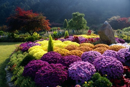 The Garden of Morning Calm Chrysanthemum Exhibition